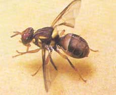 Fruit Fly Organic Control Products Online