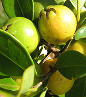 how to grow cherry guava