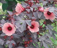 Cranberry Hibiscus Growing Information