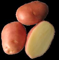 Buy Online Seed Potatoes