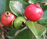 Fruit Tree, Shrub and Vine Seeds Online