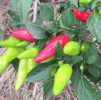 Organic Vegetable Seeds Online - Celery to Chilli